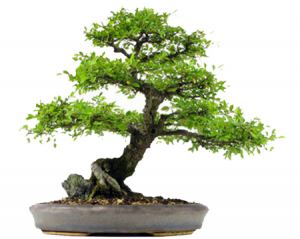 small-bonsai
